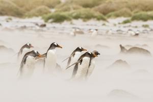 Falkland Islands, Sea Lion Island. Gentoo penguins on beach in sandstorm. by Jaynes Gallery