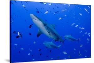 Fiji. Close-up of bull sharks. by Jaynes Gallery