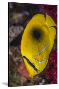 Fiji. Close-up of eclipse butterflyfish. by Jaynes Gallery
