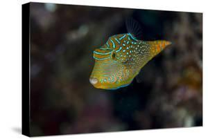 Fiji. Close-up of Papua toby fish. by Jaynes Gallery