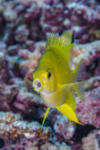 Fiji. Close-up of yellow chromes fish. by Jaynes Gallery
