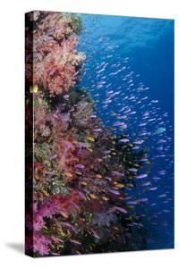 Fiji. Reef with coral and Anthias. by Jaynes Gallery