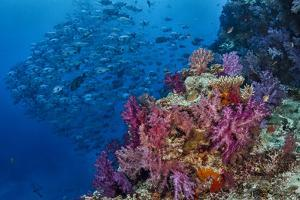Fiji. Reef with coral and black snapper fish. by Jaynes Gallery