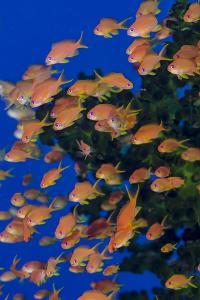Fiji. Schooling scalefin anthia fish. by Jaynes Gallery