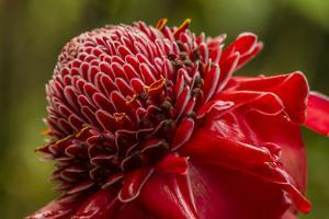 Ginger Blossom, Hawaii Tropical Botanical Garden, Hawaii, USA by Jaynes Gallery