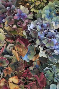 Hydrangeas in Garden, Portland, Oregon, USA by Jaynes Gallery
