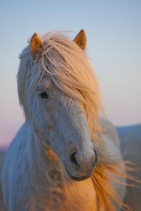 Iceland. Icelandic horse in sunset light. by Jaynes Gallery