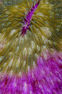 Indonesia, Alor Island, Bacatan Wall. Close-Up of Hard Coral by Jaynes Gallery