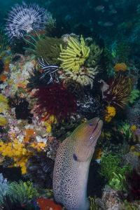 Indonesia, Bima Bay. Moray Eel and Coral by Jaynes Gallery