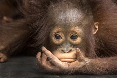 Indonesia, Borneo, Kalimantan. Baby orangutan at Tanjung Puting National Park. by Jaynes Gallery