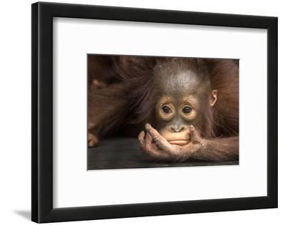 Indonesia, Borneo, Kalimantan. Baby orangutan at Tanjung Puting National Park.
