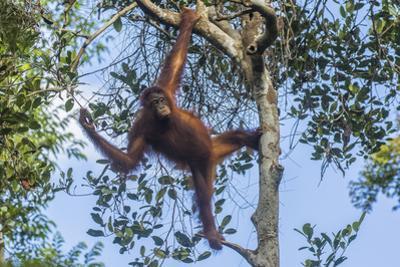 Indonesia, Borneo, Kalimantan. Female orangutan at Tanjung Puting National Park. by Jaynes Gallery