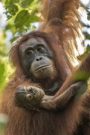 Indonesia, Borneo, Kalimantan. Female orangutan with baby at Tanjung Puting National Park. by Jaynes Gallery