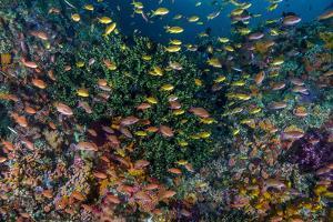 Indonesia, West Papua, Raja Ampat. Anthia Fish and Coral Reef by Jaynes Gallery