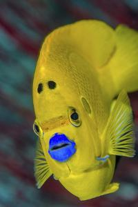 Indonesia, West Papua, Raja Ampat. Close-Up of Angelfish by Jaynes Gallery