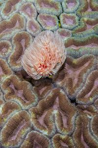 Indonesia, West Papua, Raja Ampat. Feather Duster Worm on Coral by Jaynes Gallery
