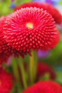 Italy, Bellagio. Garden flowers close-up. by Jaynes Gallery