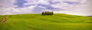 Italy, San Quirico d'Orcia. Cypress grove in panoramic. by Jaynes Gallery