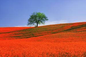 Italy, Tuscany. Abstract of oak tree on red flower-covered hillside by Jaynes Gallery