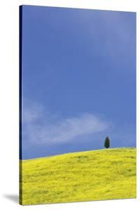 Italy, Tuscany. Lone cypress tree on flower-covered hillside by Jaynes Gallery