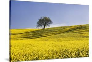 Italy, Tuscany. Lone oak tree on flower-covered hillside by Jaynes Gallery