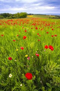 Italy, Tuscany. Red poppies in field. by Jaynes Gallery