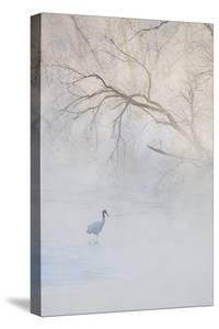 Japan, Hokkaido, Tsurui. Hooded Crane Walks in River at Sunrise by Jaynes Gallery