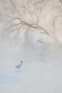 Japan, Hokkaido, Tsurui. Hooded Crane Walks in River at Sunrise by Jaynes Gallery