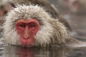 Japan, Jigokudani Monkey Park. Japanese macaque close-up. by Jaynes Gallery