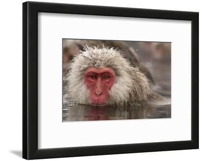 Japan, Jigokudani Monkey Park. Japanese macaque close-up.
