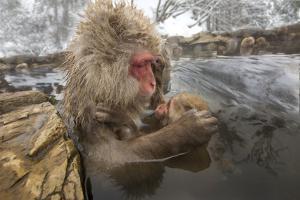 Japan, Jigokudani Monkey Park. Japanese macaque with nursing baby. by Jaynes Gallery