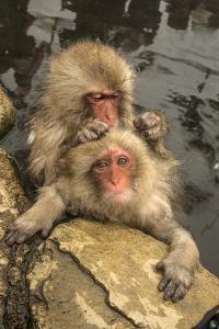 Japan, Jigokudani Monkey Park. Japanese macaques grooming. by Jaynes Gallery