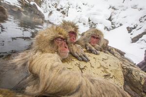 Japan, Jigokudani Monkey Park. Japanese macaques in thermal pool. by Jaynes Gallery