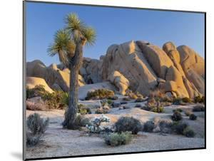Joshua Tree and Boulder Formation, Joshua Tree NP, California, USA by Jaynes Gallery