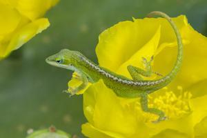 Louisiana, Jefferson Island. Green Anole on Prickly Pear Cactus Blossom by Jaynes Gallery