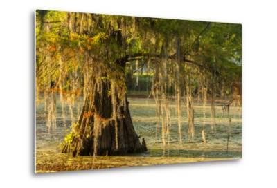Louisiana, Lake Martin. Cypress Tree in Swamp