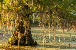 Louisiana, Lake Martin. Cypress Tree in Swamp by Jaynes Gallery