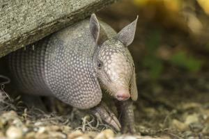 Louisiana, Lake Martin. Young Nine-Banded Armadillo by Jaynes Gallery