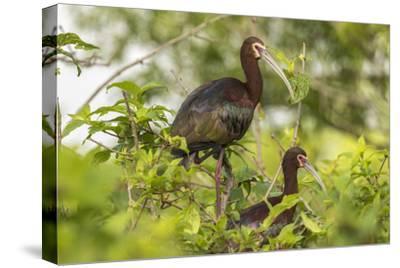 Louisiana, Miller's Lake. White-Faced Ibis Pair in Tree