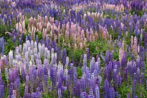 Lupine Flowers in Fiordland National Park, South Island, New Zealand by Jaynes Gallery