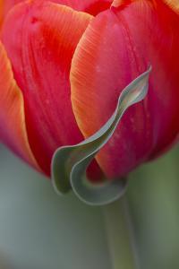 Maine, Cape Elizabeth. Sepal Tulip Flower by Jaynes Gallery