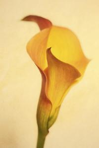 Maine, Harpswell. Calla Lily Close-Up by Jaynes Gallery