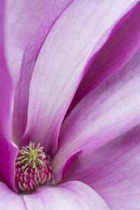 Maine, Harpswell. Magnolia Flower Interior by Jaynes Gallery
