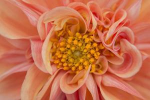 Maine, Harpswell. Orange Dahlia Detail by Jaynes Gallery
