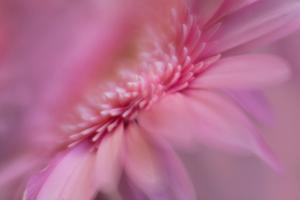 Maine, Harpswell. Pink Gerbera Daisy Abstract by Jaynes Gallery