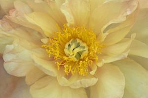 Maine, Harpswell. Yellow Peony by Jaynes Gallery