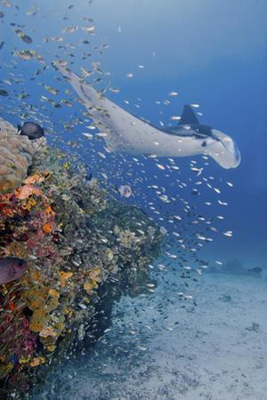 Manta Ray, Fish and Coral, Raja Ampat, Papua, Indonesia by Jaynes Gallery
