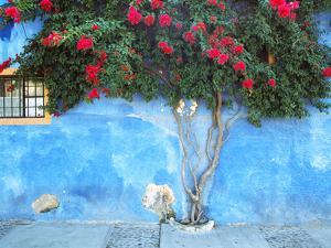 Mexico, Ajijic. Bougainvillea against wall. by Jaynes Gallery