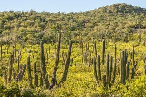 Mexico, Baja California Sur, Isla San Jose. Cardon cactus forest. by Jaynes Gallery