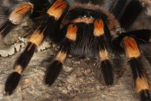 Mexico. Close-up of red knee tarantula by Jaynes Gallery